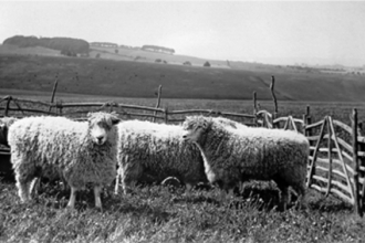 Sheep on the Downs