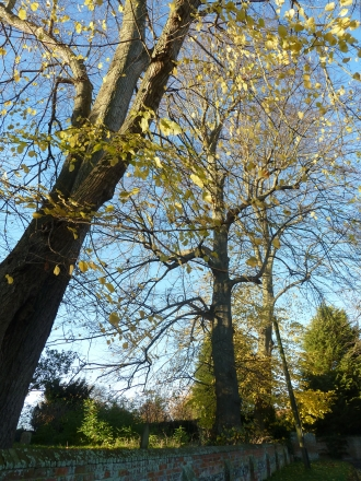 Lime trees by St Michaels